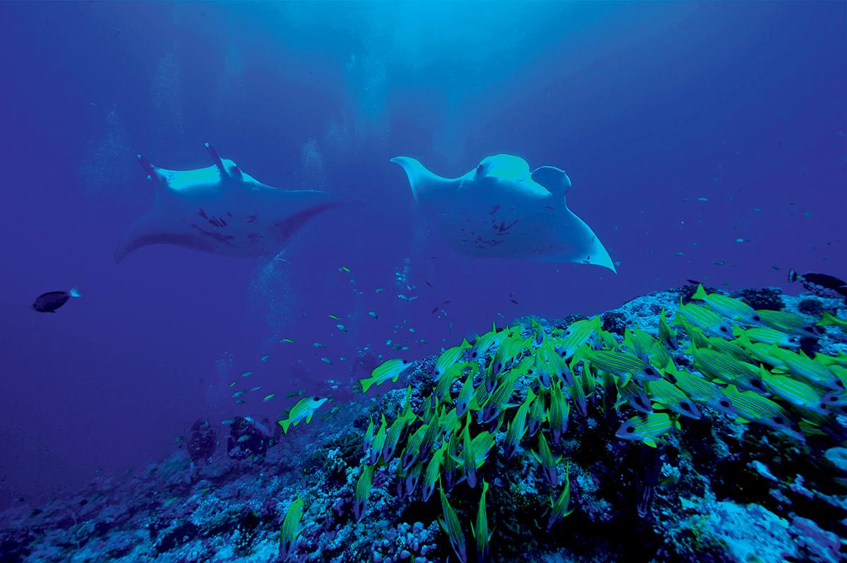 潛水旺季是會遇到很多魔鬼魚