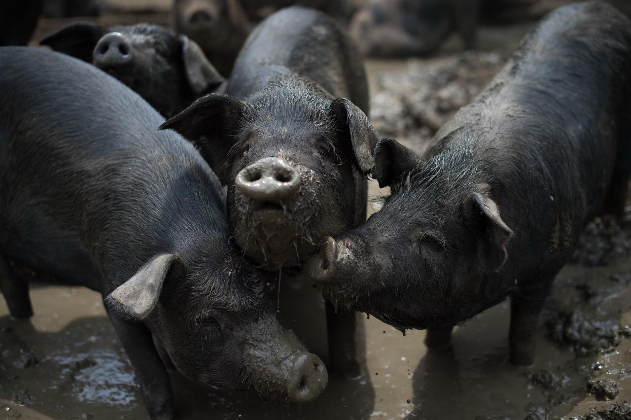 為應對環境檢查,地方政府在一些農村禁止在鄉村河道兩側一定範圍內養豬養雞。