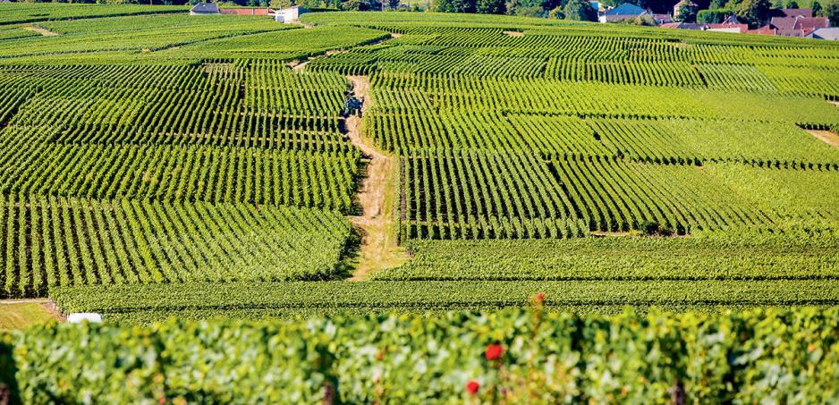 Cattier酒莊位於Montagne de Reims的葡萄園。