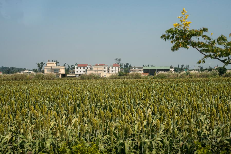 在金門鄉郊,不時會看見高粱田。