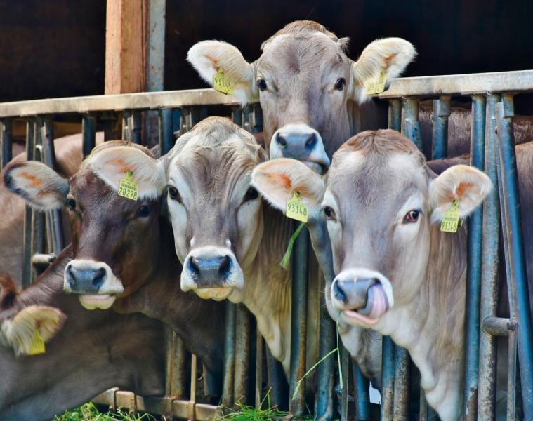 畜牧業及肉食工業是促使全球暖化的「元兇」之 一。有研究發現,生產一公斤牛肉會產生約36 公斤的二氧化碳。
