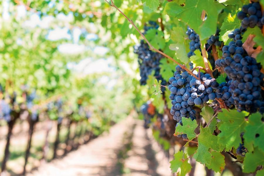 在法國波爾多正掀起一場可持續葡萄酒生產模式的革命。
