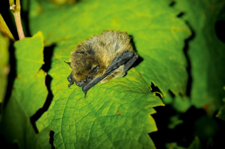蝙蝠是對付葡萄捲葉蛾最厲害的「盟友」。