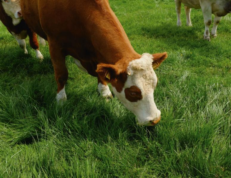 愛爾蘭牛隻大多為草飼。