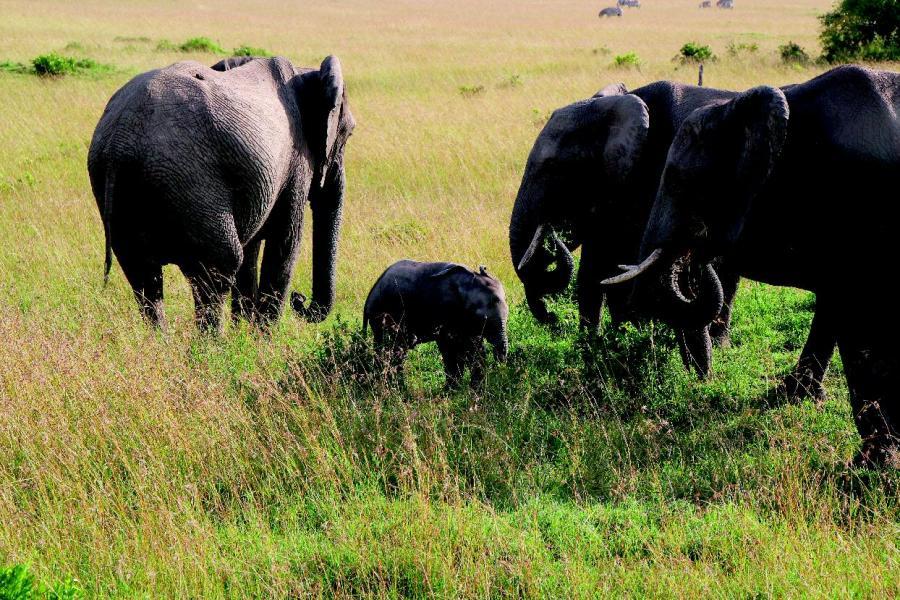 象牙貿易令全球每年逾2萬隻大象喪失生命。
