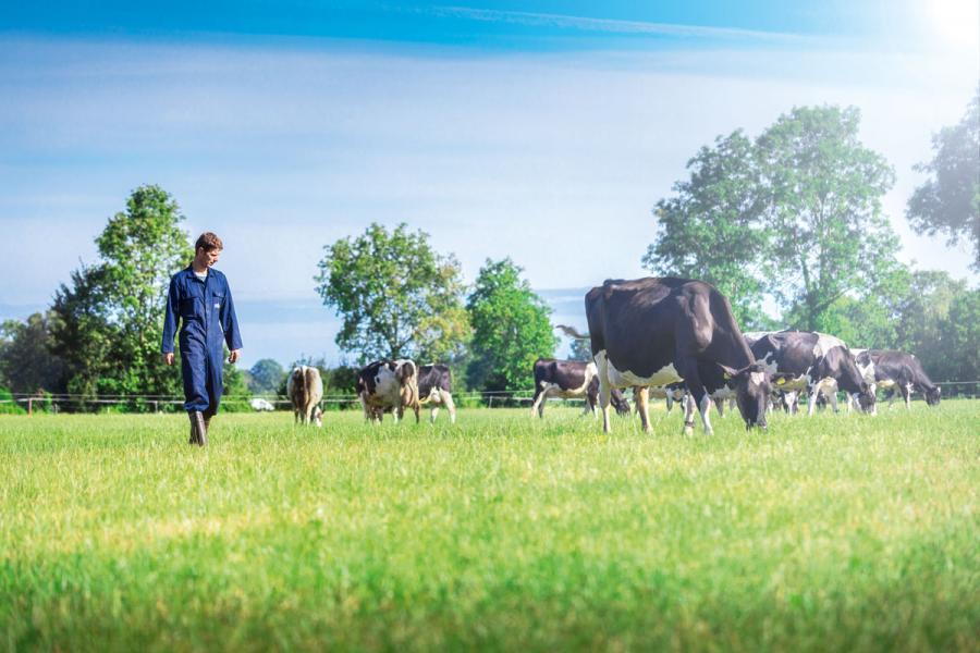 乳牛飼料黑麥草的生長高度由30厘米到一米不等,農場主人僅在黑麥草40厘米高度的時候才會進行戶外放牧,因為只有這個高度的黑麥草最鮮嫩多汁,蛋白質及鈣等營養成份含量最高。