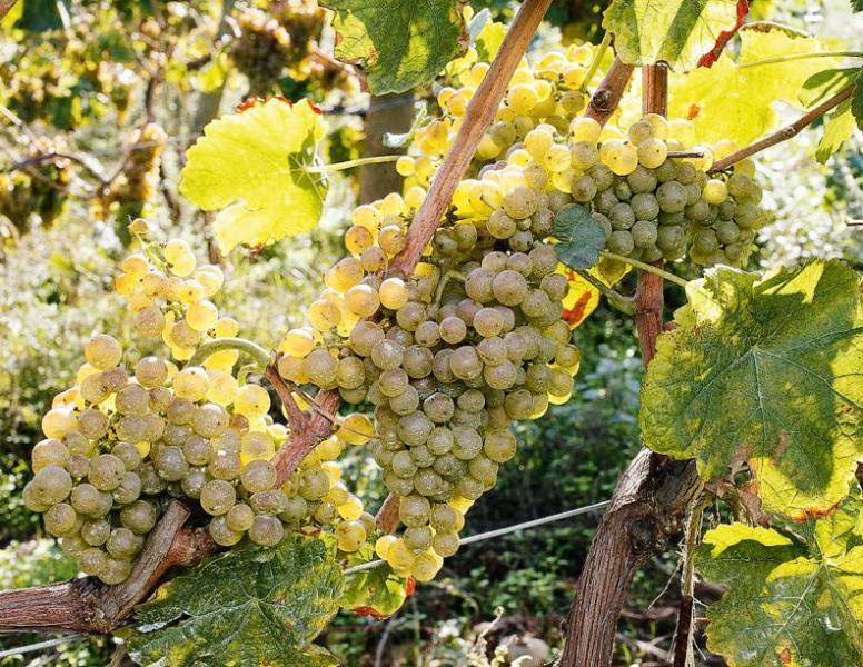 用作釀造優質雪莉酒的Palomino葡萄。