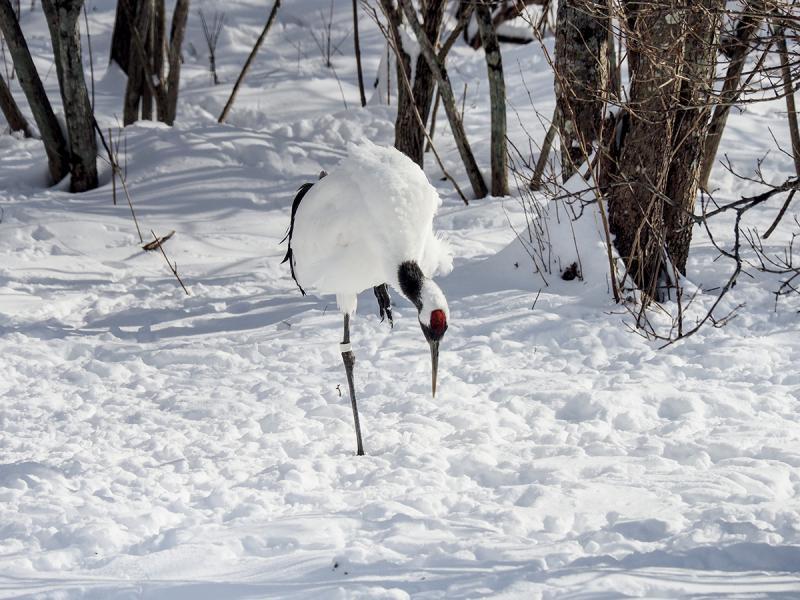 鶴公園的丹頂鶴為放養,因定時在園內放置食物,牠們習慣會到這裡覓食。