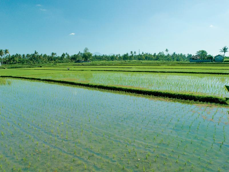度假村附近的稻田。