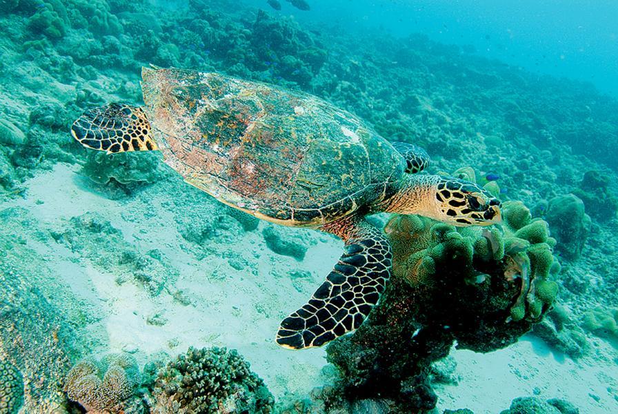 海龜在暢泳。
